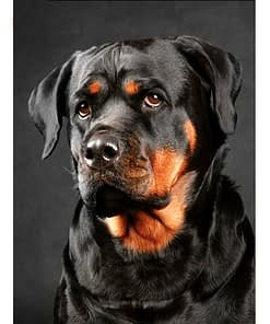 5D Diamond Painting Rottweiler